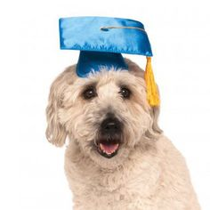 Your pup will show off their honors in the Rubies Graduation Dog Hat in Blue! Shiny blue chintz Yellow tassel Ties beneath the chin The Graduation Cap Dog Hat is for your top dog! Yellow tasseled with