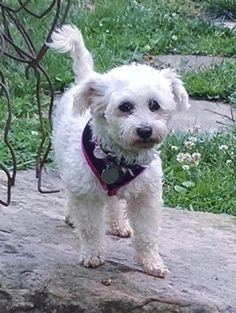 Meet SUGAR, a Petfinder adoptable Bichon Frise Dog | Wooster, OH | Sugar is a little 5 or 6 year old, 8 pound  Bichon.  She came to us from a commercial breeder but...