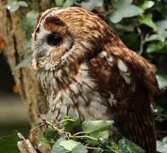 Strix [aluco or nivicolum] - Avibase