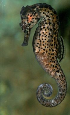 leopard seahorse? can it be  lol
