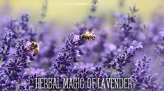 Herbal Magic of Lavender.