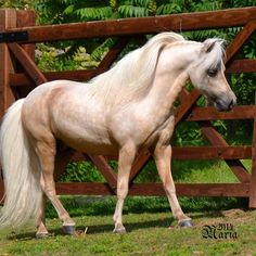 absolutely GORGEOUS Palomino miniature Horse !