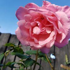 "Karen Newell on Instagram: ""There is beauty in the simplest of things. ""Queen Elizabeth"" rose from my garden #rose #roses #rosegarden #queenelizabethrose #beauty"" Queen Elizabeth Rose, Roses, Simple, Garden, Flowers, Plants, Beauty, Instagram, Garten"
