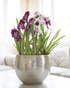 """Miltonia orkidé eller """"Stemorsorkidé"""": http://www.mestergronn.no/blogg/orkide-forforende-og-vakker/"""