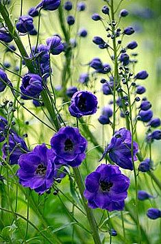Delphiniums-blue flowers bring out the color vibrancy in a garden.