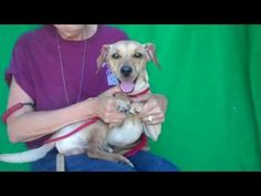 Meet GILLIGAN, a Petfinder adoptable Dachshund Dog in Pasadena, CA | Petfinder.com