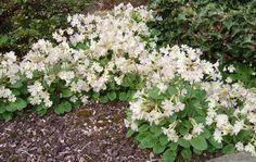 Primula x 'Lady Greer'. Rockery Garden, Belle Plante, Alpine Plants, Primroses, Plant Pictures, Habitats, Lady, Gardens, Dry Garden