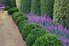 California summer-dry garden garden with Pittosporum, Euonymus, and Nepeta