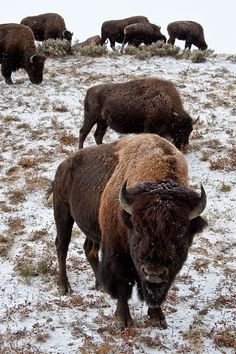 Dont Mess with the Beasts! Yellowstone National Park, Wyoming. Photo: janet little, via Flickr