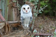 Needle felted grey barn owl  _This item was sold, but you´ll receive one the most similar possible, not less beautiful than the photo.( its creation