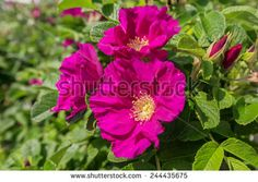 <3 Scabrosa .. hybrid rugosa.  Low growing with massive orange hips in the fall.