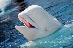 béluga, appelé également baleine blanche - Beluga, also called white whale Orcas, Primates, Mammals, Arctic Animals, Cute Animals, Wild Animals, Animals Beautiful, Beautiful Creatures, Whales