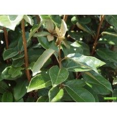Elaeagnus ebbingei great for an edible hedge, wind break and nitrogen fixer, hardy and shade tolerant