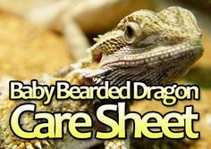 Baby Bearded Dragon Care Sheet:  http://www.yourbeardeddragon.com/baby-bearded-dragon-care-sheet/  #reptiles #pets #animals