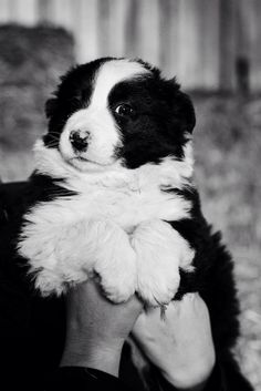 Border Collie puppy // Joy Felicity Jane