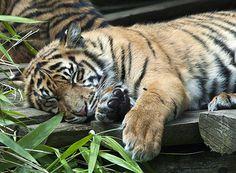 Tiger Cub Sleeping | Flickr - Photo Sharing!