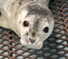 Meet Merlot, the Orphan Harbor Seal Pup Seal Pup, Baby Seal, Baby Animals Pictures, Cute Baby Animals, Alaska Sealife Center, Harbor Seal, Fur Babies, Seals, Sea Lions
