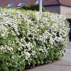 Spirea arguta Hedge - 5 hedge plants Buy online order yours now Plants, Garden, Privacy Plants, Spirea, Garden Hedges, Hedges, Garden Center, Backyard, Garden Plants