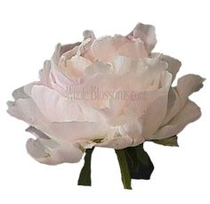 Fresh Peony Blush Flowers are perfect for bridal bouquets and wedding centerpieces. Order peony blush flowers for wedding & more. Buy fresh cut peony flowers online with free delivery on wholesale flowers, wedding flowers, bulk peony flowers & more. Church Wedding Flowers, Modern Wedding Flowers, Blush Wedding Flowers, Flower Bouquet Wedding, Wedding Ceremony, Wedding Venues, Ranunculus Flowers, Peony Flower, Beautiful Flower Arrangements