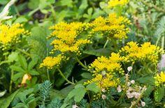Kövi Varjúháj Herbs, Flowers, Plants, Herb, Plant, Royal Icing Flowers, Flower, Florals, Floral