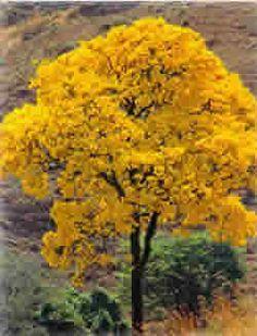ipe-amarelo_originária do Brasil