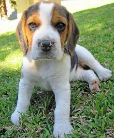 Kiara the Beagle