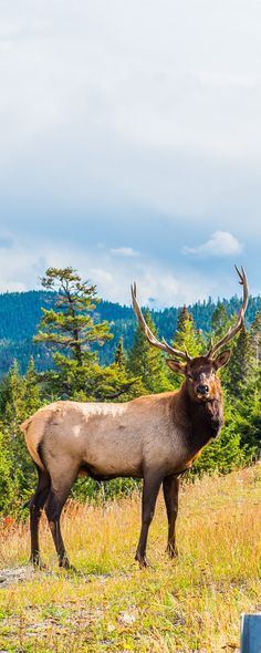 Bull Elk in Jasper National Park - full travel story at Milady-A.com. Luxurious travel tips and so much more.