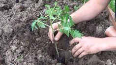 13 astuces pour bien faire pousser les tomatesnoté 3.8 - 268 votes 9) Contre le jaunissement des feuilles et pour des plants enbonne santé, vous pouvez avoir recours au sel d'Epsom. C'est une astuce bien connue des jardiniers qui ne jurent que par ça pour obtenir une bonne croissance, des tiges robustes, avoir une saison …