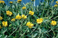 Phlomis fruticosa AGM / RHS Gardening