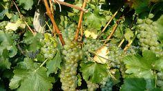 Wachau - die Weintrauben sind reif Fruit, The Fruit