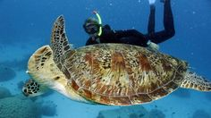 Green Sea Turtle, Great Barrier Reef, QLD. Photo by Poseidon Outer Reef Cruises.
