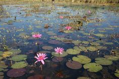 lilies on pond | water-lily-pond-dsc01558.jpg