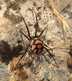 La veuve noire d'Europe, est la seule espèce d'araignée vraiment venimeuse que l'on peut trouver naturellement en France. Elle se distingue par son corps noir parsemé de 13 taches allant du jaune au rouge