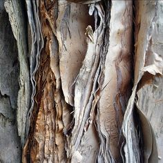 A close-up of the paper bark tree from Australia.