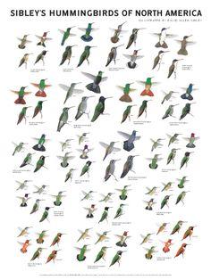 hummingbirds types - Google Search