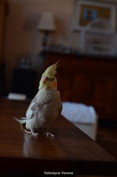 Cockatiel Ravi, 13 week old cinnamon male. Sitting on the table. Valkparkiet