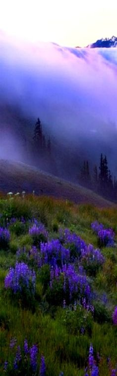 Purple dream: Purple Haze over Hurricane Ridge ~ Olympic Mountains, Washington