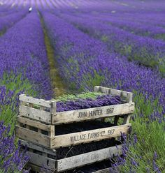 Fields of Lavender at Calwell Farm in Hitchin, Hertfordshire, ENGLAND. Lavender Blue, Lavender Fields, Lavander, Lavender Garden, Lavender Bouquet, Lavender Soap, Drying Lavender, Violet Garden, French Lavender