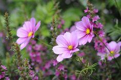 20090802_154217 Gods Creation, Garden Inspiration, Cosmos, Pink Flowers, Flower Power, Outdoor Gardens, Nature, Beautiful, Cottages