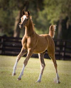 H Angelo (Enzo x Angelina Showlee) The Arabian Horse - Drinkers of the Wind