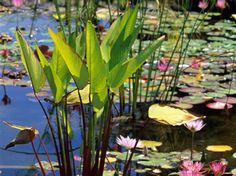 #Thalia #dealbata est à cultiver en panier à bonne profondeur (50 cm pour résister au gel). #Fleurs #violettes en été.