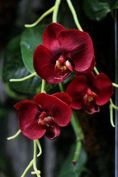 Orquídeas de flores rojas.