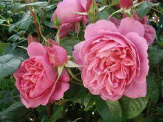 """Rosa """"Saint-Exupery"""""""