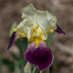 TB Iris germanica 'Mildred Presby' (Farr, 1923)