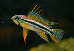 including water striped dwarf feeding breeding sa dwarf apistogramma ...