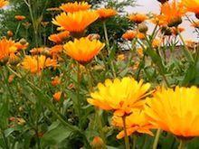 Ringelblumensalbe mit Bienenwachs selbst herstellen machen