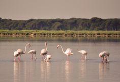 Flamingos, nature, #Ravenna.