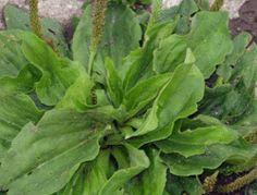 Esta pequeña hierba es uno de los medicamentos más útiles del planeta - Ecoportal.net