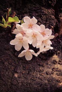 染井吉野 #sakura #CherryBlossom Spring Time, Cherry Blossoms, Plants, Flowers, Cherry Blossom, Japanese Cherry Blossoms, Plant, Planets