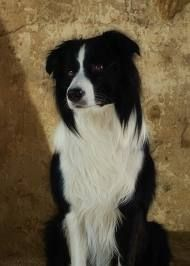 Border Collie,classic black & white,(we used to have one almost identical:Dodger.only collie I knew that was scared of sheep! Border Collie Humor, Border Collie Pictures, Border Collie Puppies, Collie Dog, Border Collie Welpen, Animals Beautiful, Cute Animals, Sweet Dogs, Mountain Dogs